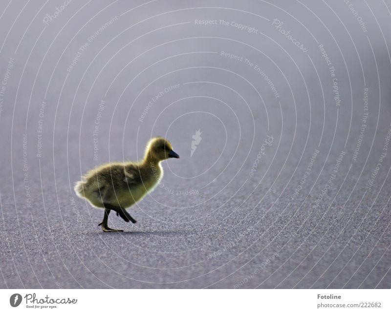 HAPPY BIRTHDAY PHOTOCASE! Umwelt Natur Tier Erde Wildtier Vogel Fell 1 Tierjunges gehen laufen hell klein natürlich niedlich Küken Gans Gössel Wege & Pfade