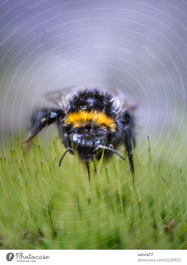 Erdhummelregenfrisur Umwelt Natur Pflanze Tier schlechtes Wetter Moos Gras Tiergesicht Insekt Hummel 1 nah gelb grau grün schwarz Mobilität Perspektive skurril