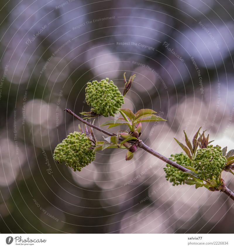 Lichtkringel Umwelt Natur Pflanze Sonnenlicht Frühling Sträucher Blatt Blüte Blütenknospen Zweige u. Äste Wald glänzend Frühlingsgefühle Leben Lichtspiel