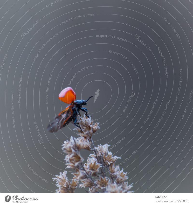 ich heb ab Natur Tier Blüte Gräserblüte Käfer Flügel Insekt 1 fliegen oben grau rot schwarz Beginn Abheben Farbfoto Gedeckte Farben Außenaufnahme Detailaufnahme
