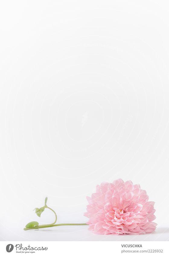 Pastell rosa Blume auf weißem Hintergrund Stil Design Feste & Feiern Natur Pflanze Rose Blatt Blüte Dekoration & Verzierung Blumenstrauß Hintergrundbild Entwurf