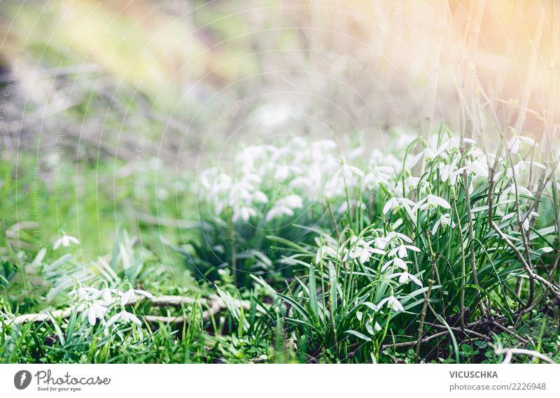 Schneeglöckchen. Erste Frühlingsboten im Garten Design Winter Natur Pflanze Schönes Wetter Blume Park Hintergrundbild Frühlingsgefühle aufwachen Jahreszeiten