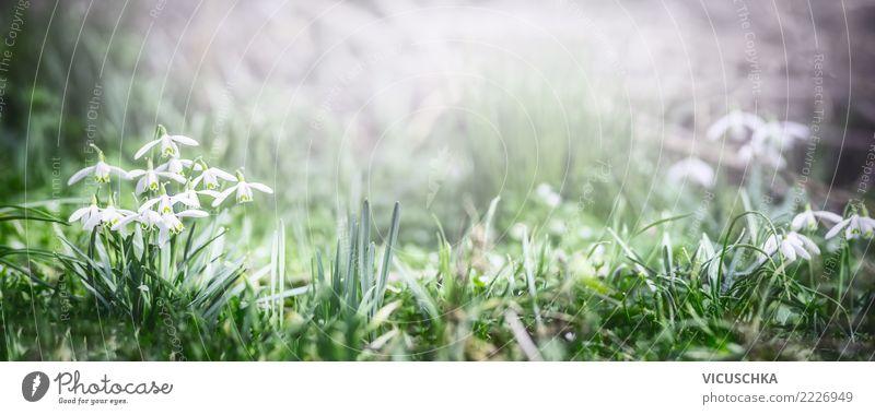 Frühling Banner mit Schneeglöckchen Blumen Lifestyle Garten Natur Pflanze Gras Blatt Blüte Grünpflanze Park Wiese Feld Wald Fahne Design Hintergrundbild