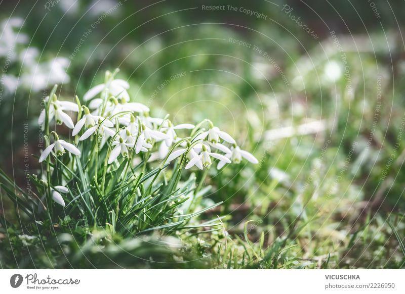 Schneeglöckchen im Frühlingsgarten Lifestyle Design Winter Garten Natur Landschaft Pflanze Schönes Wetter Blume Blatt Blüte Park Wiese Hintergrundbild Farbfoto