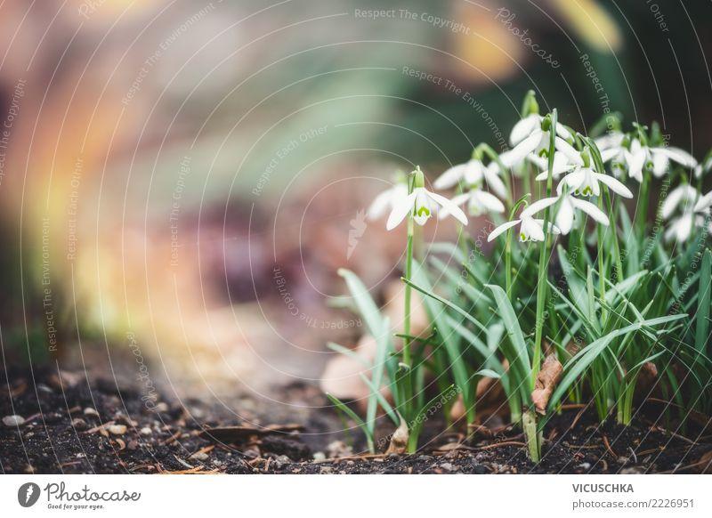 Schneeglöckchen Lifestyle Garten Natur Pflanze Frühling Blume Blatt Blüte Park Design Hintergrundbild Farbfoto Außenaufnahme Nahaufnahme Makroaufnahme