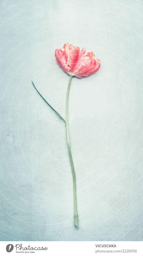 Tulpe in Pastellfarbe elegant Stil Design Sommer Veranstaltung Feste & Feiern Valentinstag Muttertag Hochzeit Geburtstag Natur Pflanze Frühling Blume Blatt