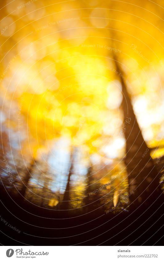dreamworks Natur Baum Pflanze Wald Herbst Umwelt gold fallen Idylle leuchten Verfall gelb Baumstamm Baumkrone Blatt Drehung