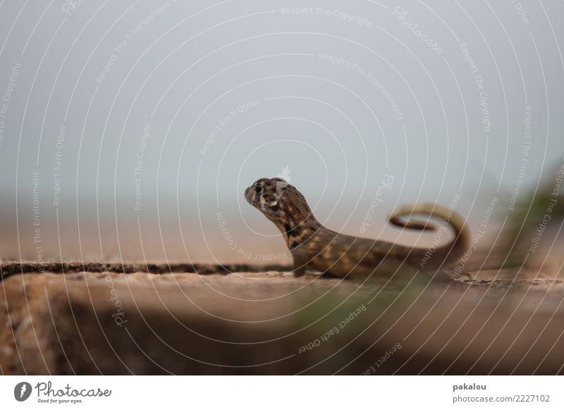 El Echso a la Playa. Schuppen Echsen Leguane 1 Tier Stein Sand hocken hören Jagd warten blau braun Rolle exotisch Karibik Echte Eidechsen Hintergrundbild
