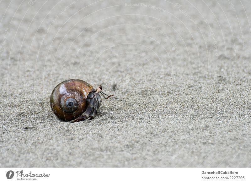 Einsiedler... Natur Sand Küste Strand Tier Einsiedlerkrebs Krebstier 1 klein Panzer Muschelschale laufen krabbeln Umzug (Wohnungswechsel) einzeln Meerestier
