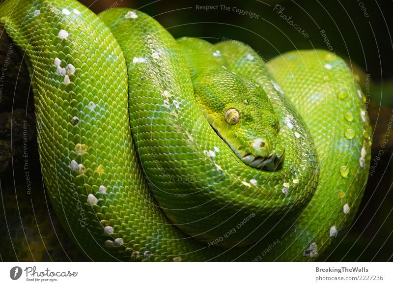 Grüner Baum Python (Morelia Viridis) zumachen Natur Farbe schön grün Tier wild Wildtier warten bedrohlich schlafen Wachsamkeit Urwald hängen Zoo Tiergesicht