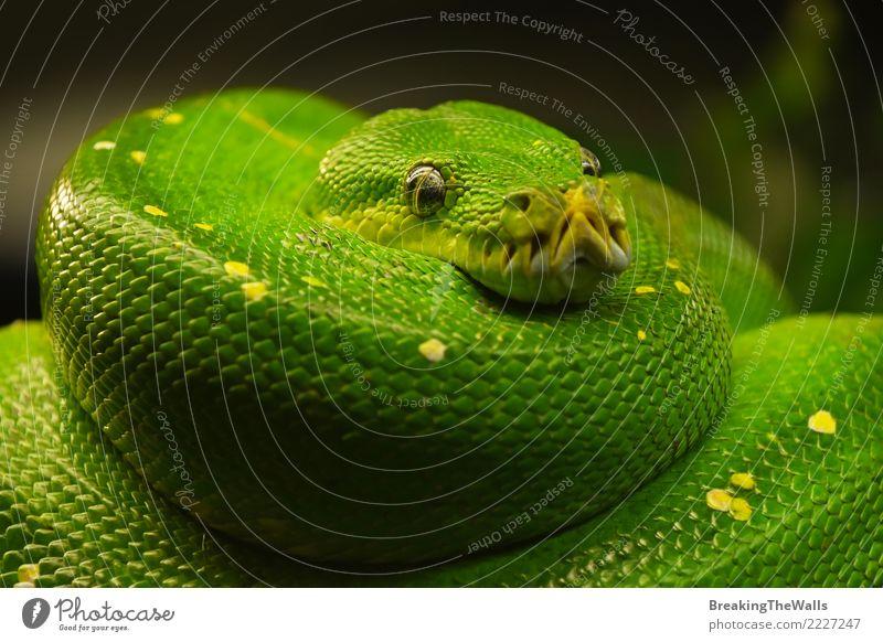 Grüner Baum Python (Morelia Viridis) zumachen Natur Farbe schön grün Tier Auge wild Wildtier warten bedrohlich schlafen Wachsamkeit Urwald hängen Zoo