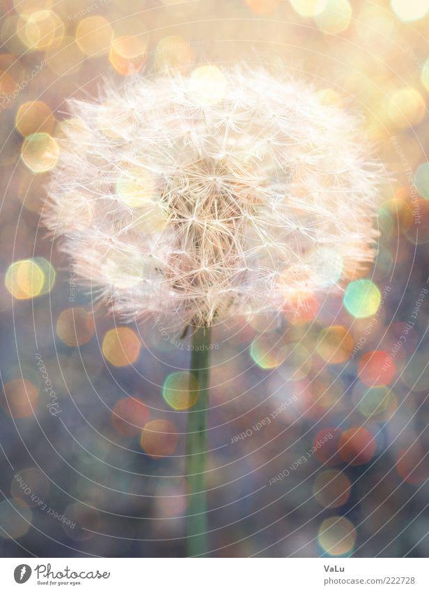 Puste mich! Natur schön Pflanze Blume Sommer Umwelt ästhetisch Löwenzahn Starke Tiefenschärfe Samen einzeln Blendenfleck Jungpflanze Makroaufnahme Vor hellem Hintergrund