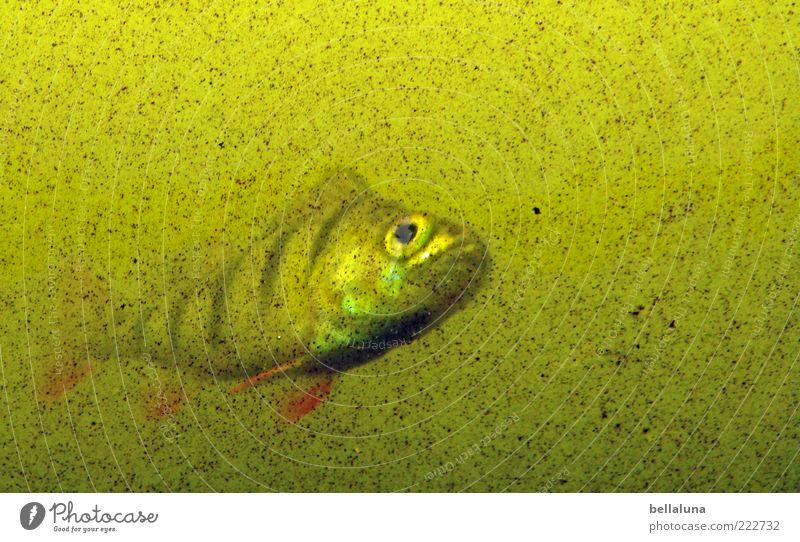 Im Trüben fischen! - HAPPY BIRTHDAY PHOTOCASE!!! Wasser Tier Fisch Tiergesicht Aquarium trüb Fischauge mehrfarbig Zierfische Vor hellem Hintergrund