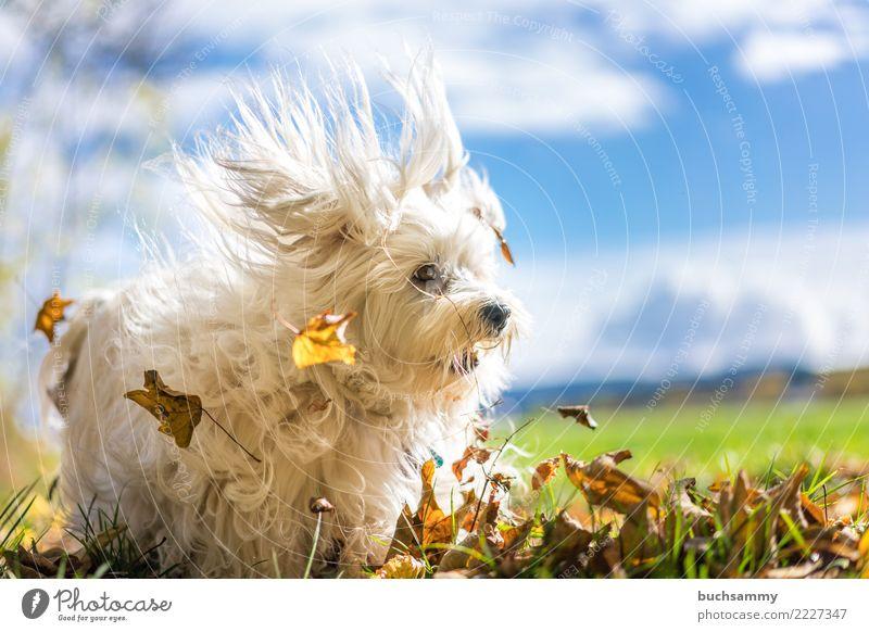 Laubsauger Hund blau weiß Tier Blatt Herbst Aktion Haustier Säugetier