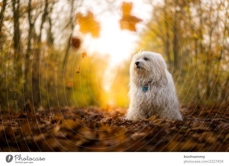 Hund im Herbst Tier Blatt Wald Haustier 1 blau weiß Bichon Havanais Havaneser Sonnenschein Säugetier Wschel Aktion himmel kleiner hund Farbfoto Außenaufnahme