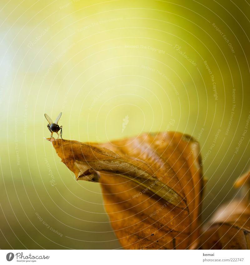 Startklar Natur grün Pflanze Blatt Tier Herbst Umwelt braun Fliege sitzen Insekt Wildtier Blattadern Herbstlaub dehydrieren Detailaufnahme