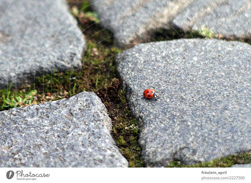 wandernder Marienkäfer Natur Pflanze Sommer schön rot Tier Winter Umwelt Herbst Frühling Wege & Pfade natürlich klein Glück Stein grau