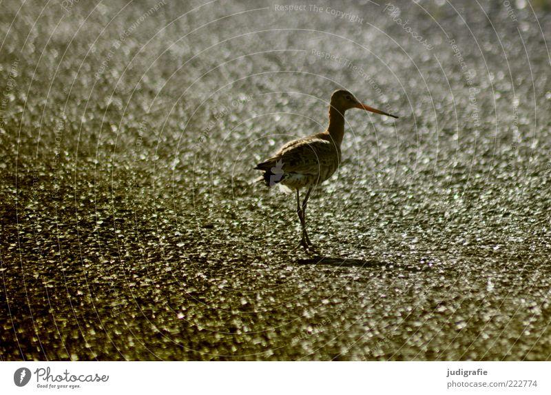 Island Natur schön Tier Umwelt Vogel gehen stehen natürlich Spitze Wildtier niedlich Vor hellem Hintergrund natürliche Farbe Uferschnepfe