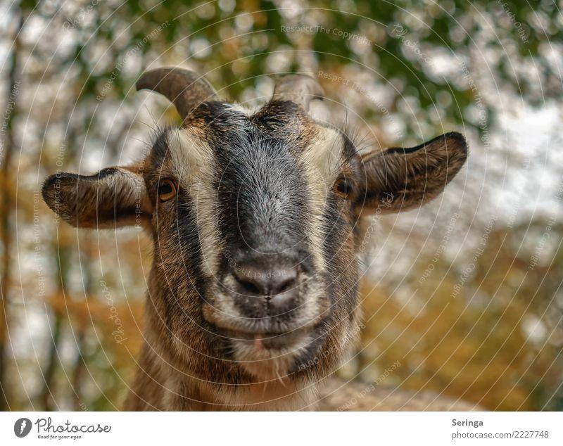 Hab einen oder keinen Bock Tier Haustier Nutztier Tiergesicht Fell Zoo 1 Fressen füttern Ziegen Ziegenbock Farbfoto mehrfarbig Außenaufnahme Nahaufnahme