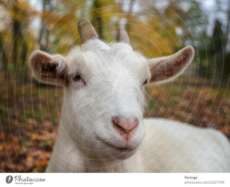 Ziege Tier süß berühren entdecken Haustier Tiergesicht füttern Nutztier Ziegen Fährte Streichelzoo Ziegenbock Ziegenfell Ziegenleder Ziegenbart