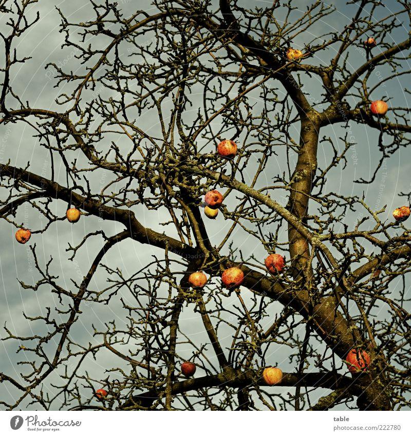 Winterapfel Himmel Natur alt Baum Pflanze dunkel Herbst Umwelt Wetter Frucht Wachstum Wandel & Veränderung natürlich Vergänglichkeit Apfel