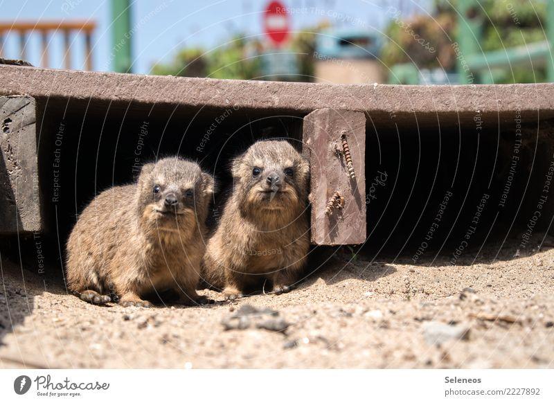Dassiebabys Ferien & Urlaub & Reisen Tourismus Tier Wildtier Tiergesicht Fell Klippschliefer 2 Tierjunges beobachten Fröhlichkeit klein nah Neugier niedlich