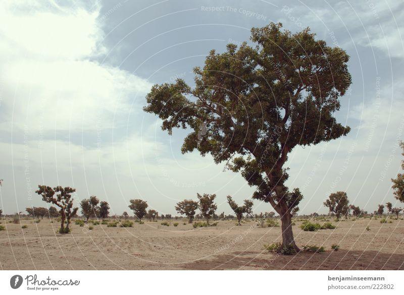 mali baum Himmel Baum Pflanze Sand Sträucher Reisefotografie Afrika Baumstamm Steppe kahl Mali