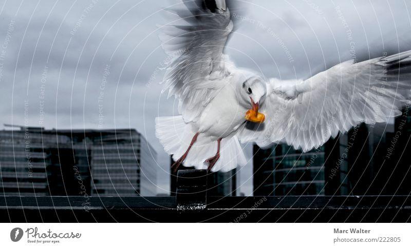 Dramatischer Aufbruch schlechtes Wetter Tier Möwe 1 Bewegung fliegen Fressen ästhetisch dunkel schwarz silber weiß Appetit & Hunger Futter luftig Dynamik
