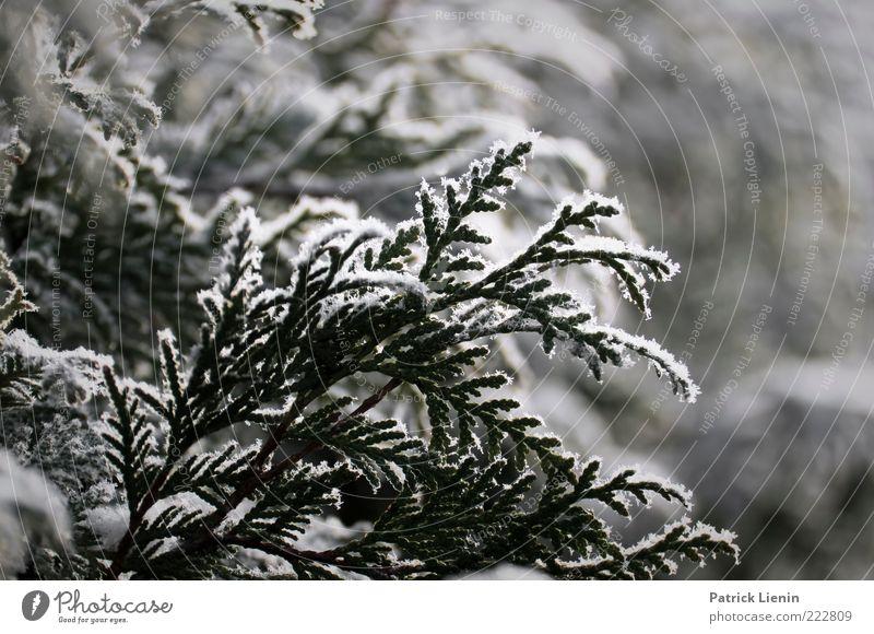 wintertime Umwelt Natur Pflanze Winter Wetter kalt weiß Lebensbaum Schnee Eis Frost Winterstimmung zart hängen Farbfoto Nahaufnahme Menschenleer Tag Abend Licht