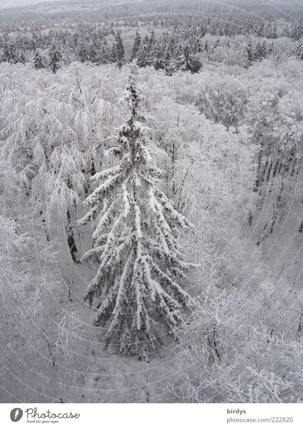 Oh Tannenbaum, oh T......... Winter Schnee Natur Landschaft Pflanze Eis Frost Wald hoch natürlich wild Stimmung friedlich Frieden oben kalt Mischwald Farbfoto
