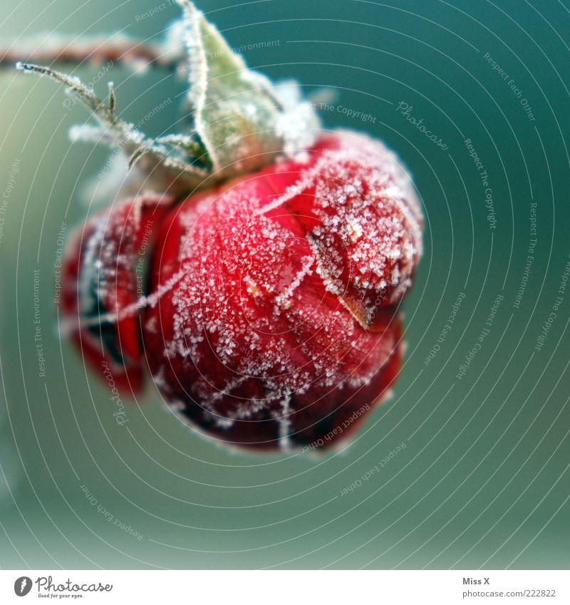 Heut ists kalt Natur Winter schlechtes Wetter Eis Frost Schnee Pflanze Rose Blatt Blüte welk gefroren Blütenblatt Raureif Farbfoto mehrfarbig Außenaufnahme