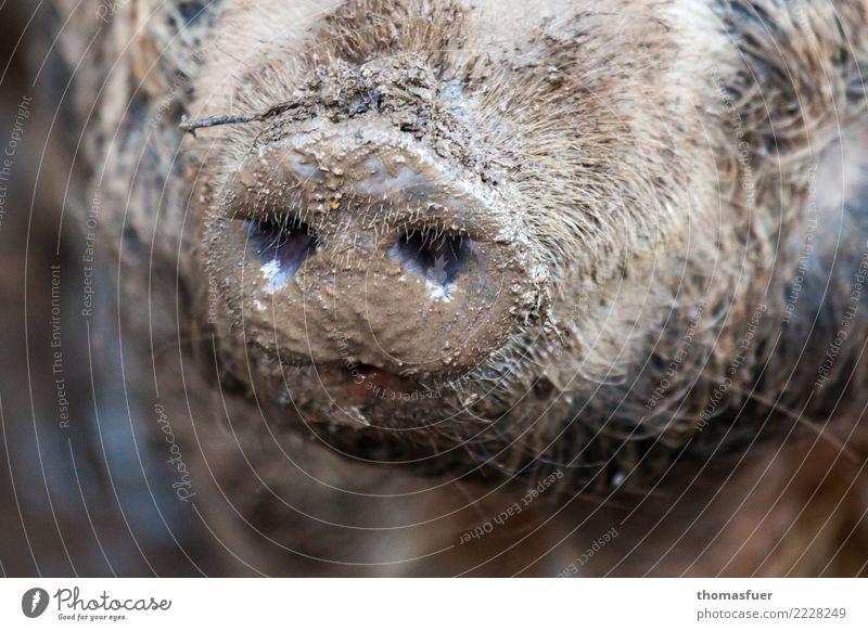 Schwein, Schnauze, Dreck Fleisch Wurstwaren Ernährung Ausflug Metzger Tier Nutztier Tiergesicht Zoo Streichelzoo 1 authentisch dreckig Körperpflege Natur
