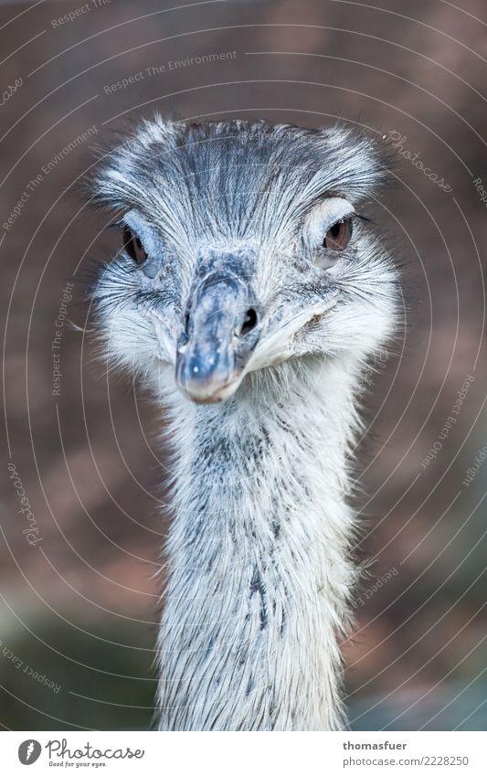 Nandu, Straußenvogel Freizeit & Hobby Ausflug Park Tier Tiergesicht Laufvogel 1 Blick exotisch Freundlichkeit schön Neugier elegant feminin Gehege Zoo