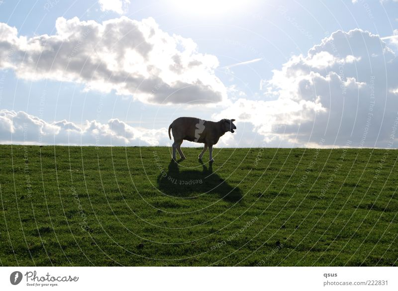 Wo ist sie bloß, die Freiheit? Natur Himmel Wolken Schönes Wetter Gras Tier Nutztier Schaf 1 gehen Einsamkeit Deich Abstieg abwärts Suche verloren Farbfoto