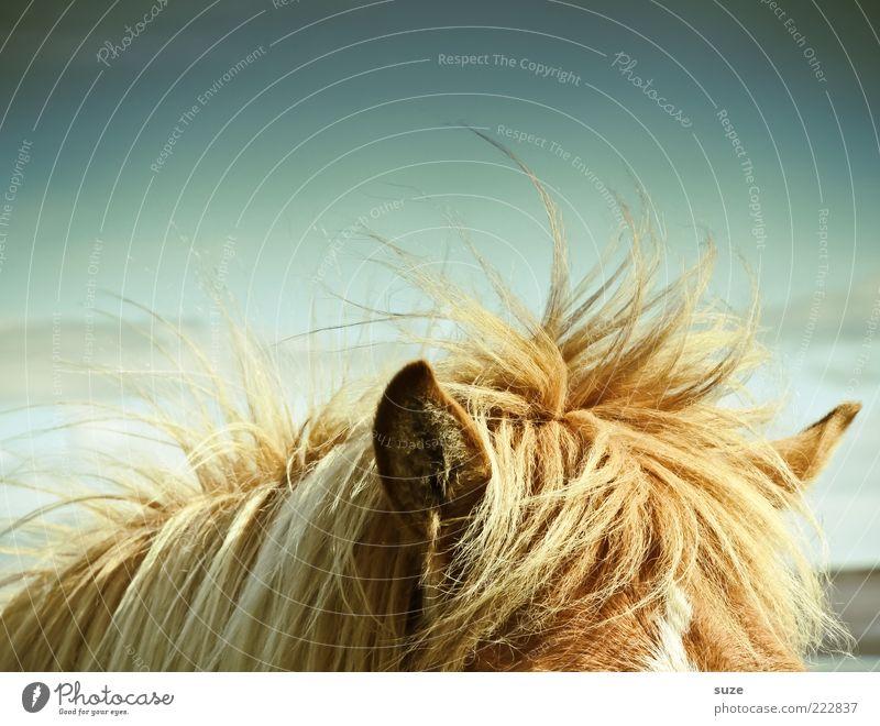 Kopfüberhals Tier Wetter Wind Pferd Ohr wild hören Wildtier Island Wachsamkeit Ponys Mähne Windböe Island Ponys Fellfarbe