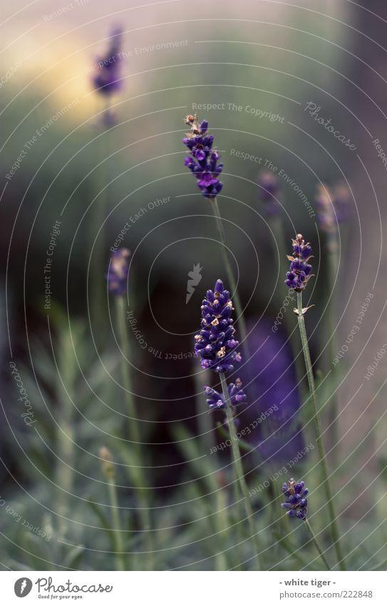 Der Winter kommt Natur Schönes Wetter Pflanze Lavendel ästhetisch kalt nah gelb gold grün violett Gefühle Stimmung Sonnenlicht Blüte Farbfoto mehrfarbig