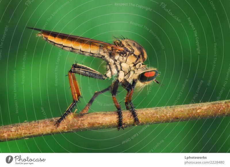 Orange Räuber-Fliege hockt auf trockenem Zweig mit grünem Hintergrund Insekt Makroaufnahme Natur Raubfliege Wanze Blatt Tier Flügel Nahaufnahme Auge rot