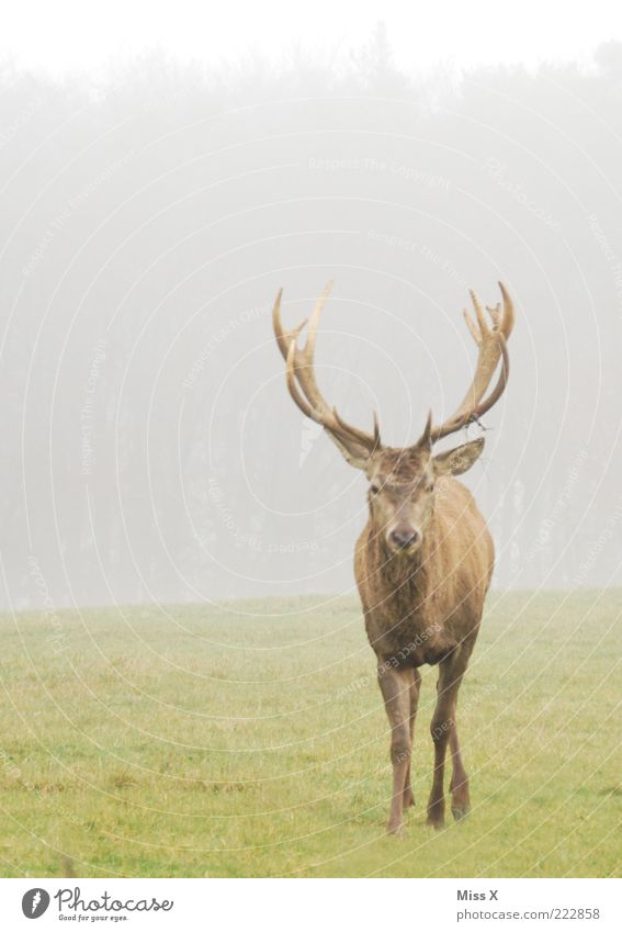 no a Hirsch Natur Winter Tier Wiese Herbst Nebel Wildtier Horn Stolz Hirsche Hochmut schlechtes Wetter freilebend freilaufend Paarhufer