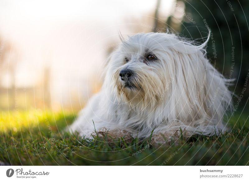 Liegender Hund Tier Herbst Wiese Haustier 1 blau grün weiß Bichon Havanais Havaneser Querformat Säugetier Wuschel kleiner hund Farbfoto Textfreiraum unten Tag