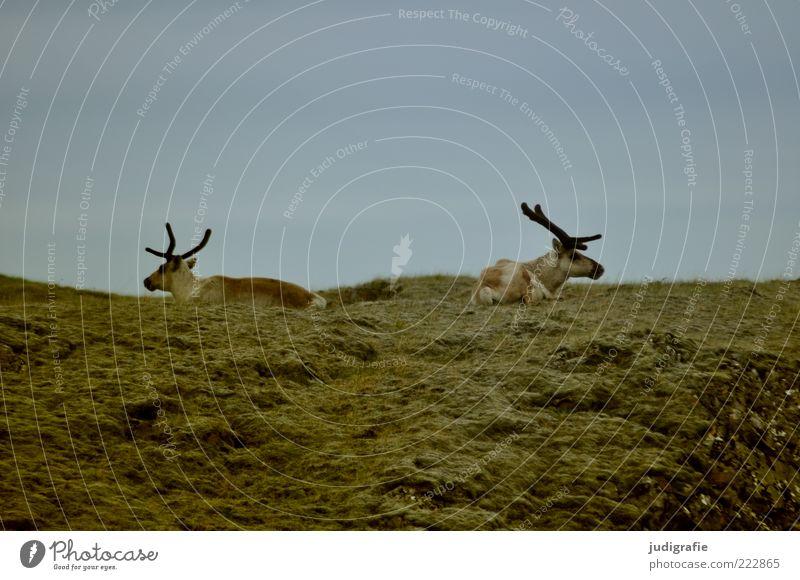 Island Umwelt Natur Himmel Wiese Tier Wildtier Rentier 2 Tierpaar sitzen natürlich wild Leben Farbfoto Gedeckte Farben Außenaufnahme Menschenleer Tag