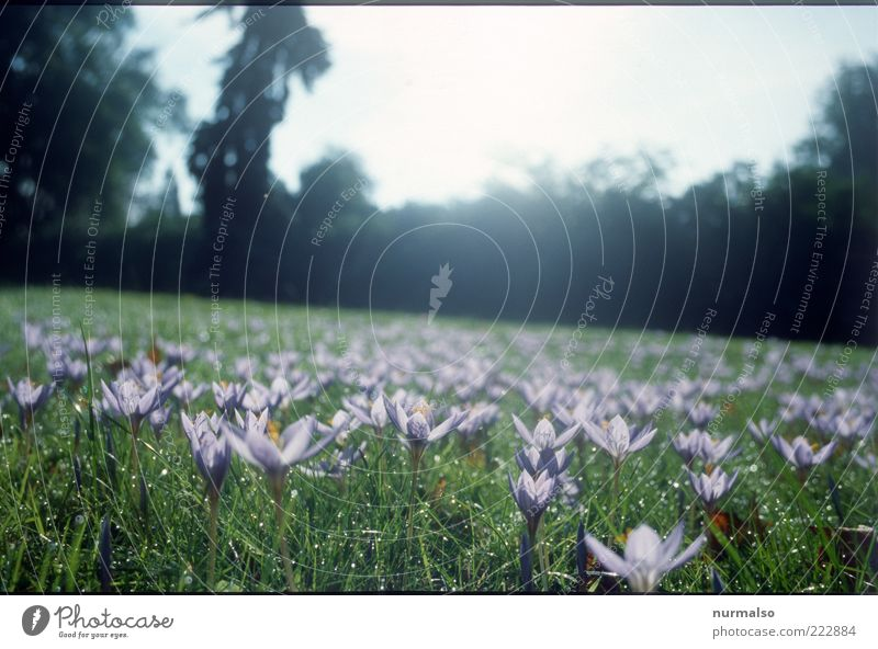 Antischneearmee Freizeit & Hobby Natur Landschaft Pflanze Schönes Wetter Blume Gras Park Menschenleer Blühend entdecken natürlich schön grün violett Stimmung