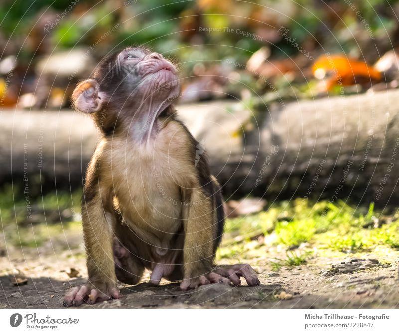 Kleiner Weltentdecker Natur Tier Sonne Sonnenlicht Schönes Wetter Pflanze Baum Blatt Wildtier Tiergesicht Fell Pfote Affen Äffchen Berberaffen 1 Tierjunges