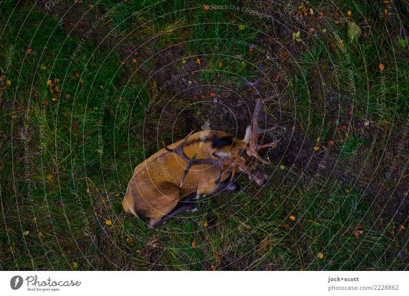Hirsch der Erde Tier dunkel Wiese Gefühle natürlich Stimmung liegen Wildtier Idylle authentisch Perspektive warten unten Inspiration Geborgenheit Horn
