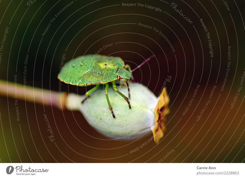 Stinkwanze auf Pflanze Tier Herbst Blume Mohn Käfer 1 berühren entdecken Liebe liegen Glück Farbfoto Außenaufnahme Nahaufnahme Tag Zentralperspektive