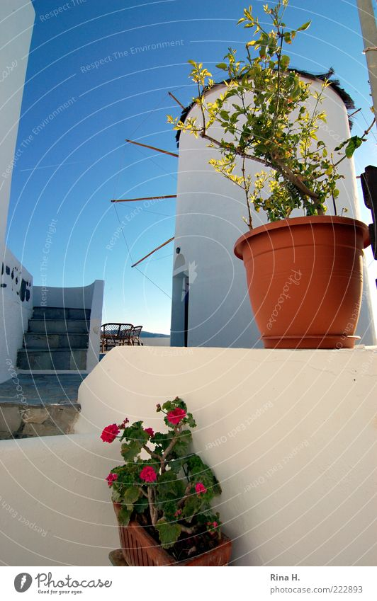 Griechisches Still Pflanze Sommer Schönes Wetter Dorf Windmühle Mauer Wand Sehenswürdigkeit entdecken blau weiß Lebensfreude Topfpflanze Farbfoto Außenaufnahme