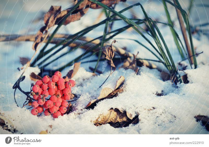 Natur Winter kalt Schnee Gras Coolness Pflanze