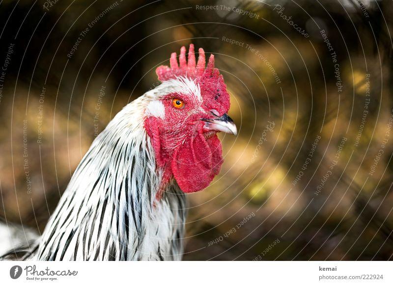 Gockel Natur weiß rot Auge Tier Tiergesicht Schnabel Haushuhn ländlich Nutztier Hahn Mensch Unschärfe gefiedert Landleben Maschendrahtzaun