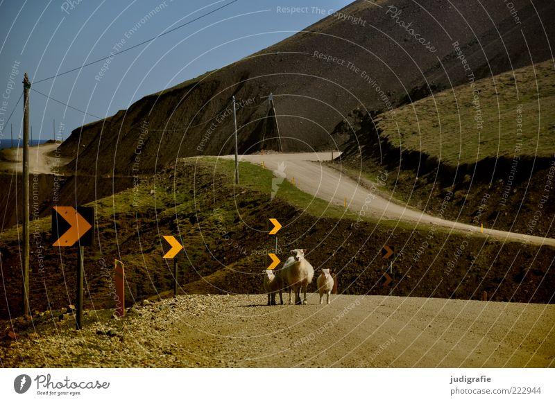 Island Umwelt Natur Landschaft Pflanze Tier Schönes Wetter Hügel Berge u. Gebirge Verkehrswege Straße Verkehrszeichen Verkehrsschild Nutztier Schaf 3 Tiergruppe
