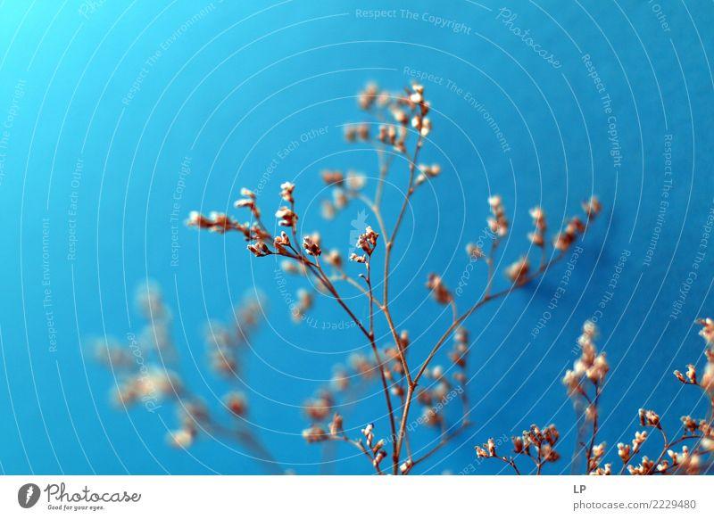 trockene Blumen auf blauem Hintergrund 2 Lifestyle elegant Stil Design Wellness Leben harmonisch Wohlgefühl Zufriedenheit Sinnesorgane Erholung ruhig Meditation