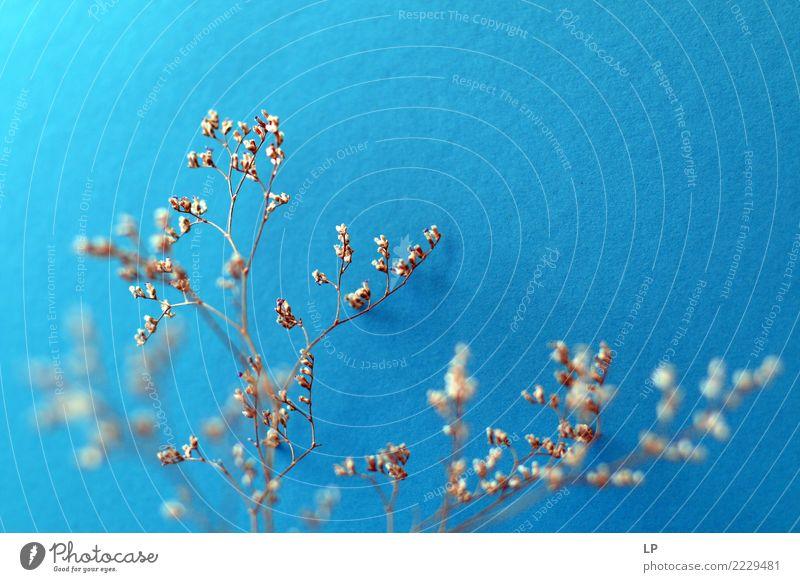 trockene Blumen auf blauem Hintergrund Lifestyle Wellness harmonisch Wohlgefühl Zufriedenheit Sinnesorgane Erholung ruhig Meditation Umwelt Pflanze Urelemente